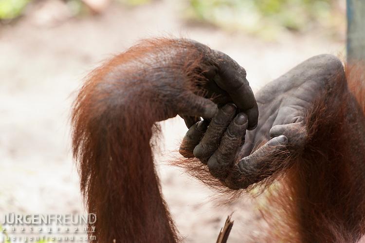 Bornean Orangutan (Pongo pygmaeus wurmbii) - hand and foot.