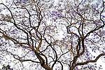 Jacaranda tree in Oaxaca, Mexico