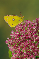 Postillon, Postillion, Großes Posthörnchen, Gelbes Posthörnchen, Wander-Gelbling, Wandergelbling, Orangeroter Kleefalter, Colias croceus, Colias edusa, Colias crocea, Dark Clouded Yellow, Common Clouded Yellow, Le Souci, Weißlinge, Pieridae