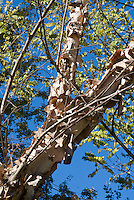Betula nigra 'Heritage' River Birch tree trunk bark, looking upward to blue sky, branches, peeling bark, leaves