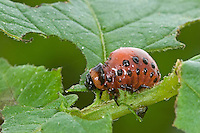 Kartoffelkäfer, Kartoffel-Käfer, Larve, Käferlarve frisst an Kartoffel-Pflanzen, Pflanzenschädling, Leptinotarsa decemlineata, Colorado potato beetle, Colorado beetle, ten-striped spearman, ten-lined potato beetle, potato bug, larva, larvae, grub