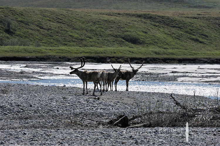 In early summer, a small group of caribou pauses after emerging from the foothills of the Brooks Range, and crossing the icy Hulahula River near Old Man Creek, before heading onto the Coastal Plain as part of their annual migration in Alaska's Arctic National Wildlife Refuge.
