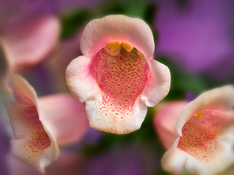 Close up of Foxglove flowers.