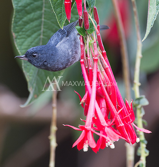 The slaty flowerpiercer avoids pollinating flowers by poking a hole in the base of the flowers and stealing nectar.