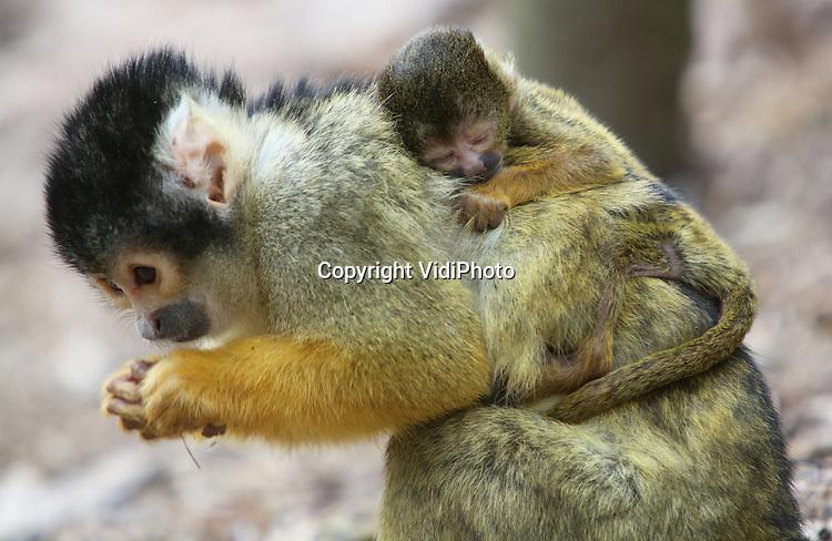 Foto: VidiPhoto<br /> <br /> APELDOORN - Vier kersverse moeder-doodshoofdaapjes huppelen woensdag tussen het vakantiepubliek in Apenheul in Apeldoorn. In enkele dagen tijd zijn er vier jonge aapjes geboren en nog twee moeders zijn zwanger. Overigens zijn dat er flink minder dan vorig jaar, omdat Apenheul door een stammenstrijd tussen de apenfamilies, de helft van de doodshoofdapen naar Duitse dierentuinen heeft getransporteerd. De overigen zeventig aapjes weten het publiek nog prima te vermaken.