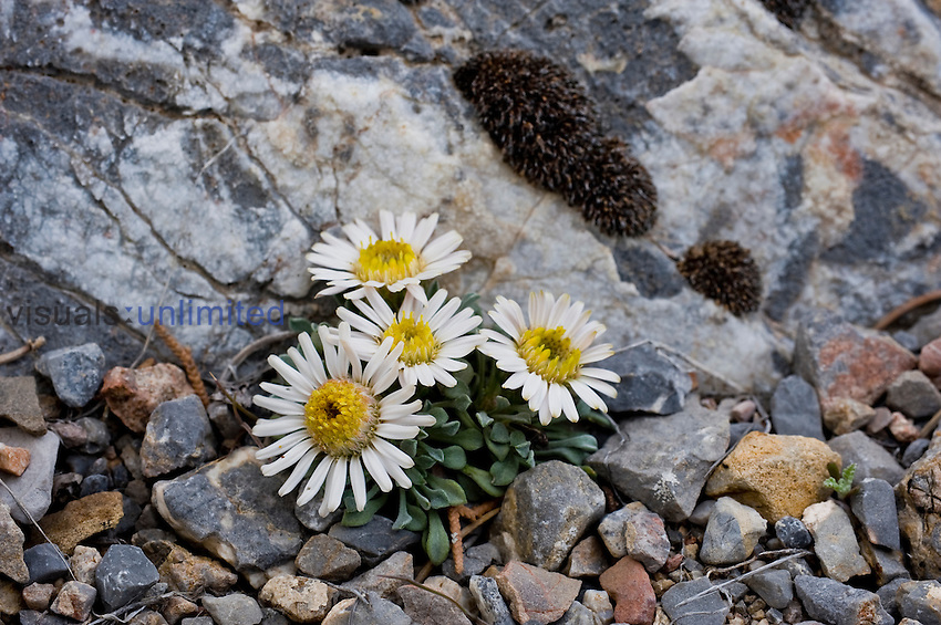Ground or Tufted Townsend Daisy (Townsendia scapigera), Great Basin National Park, Nevada, USA, Great Basin Desert.