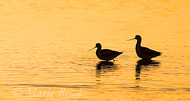 American Avocets (Recurvirostra americana), pair silhouetted at sunrise, Bolsa Chica Ecological Reserve, California, USA