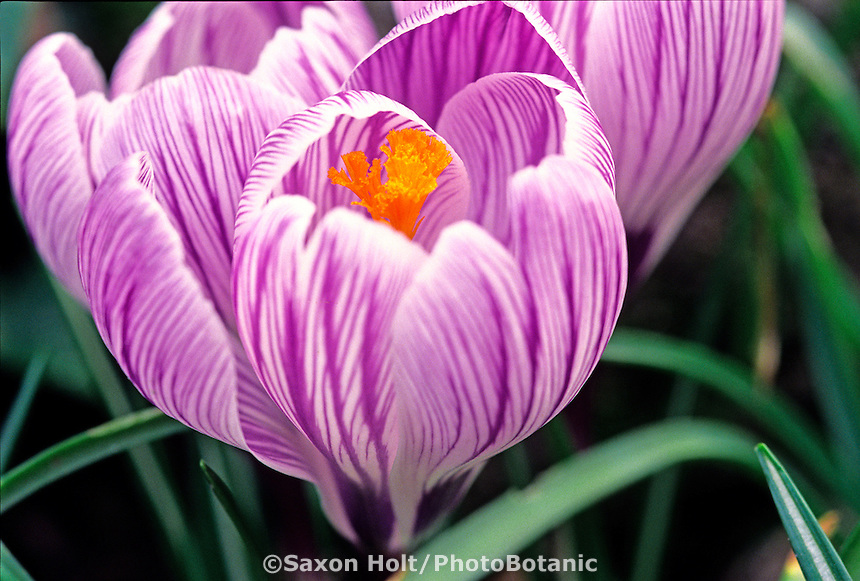Crocus 'Pickwick' close-up