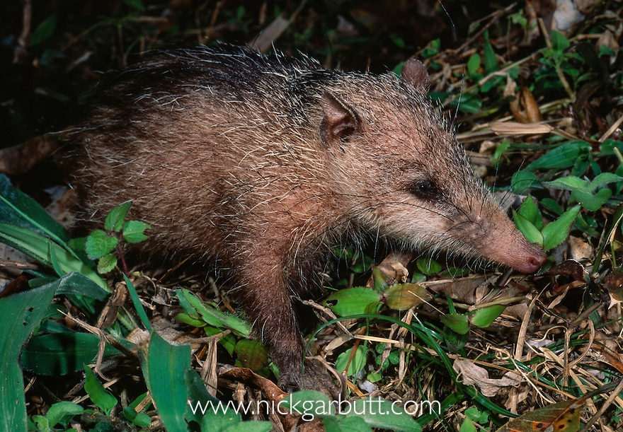 Common or Tailless Tenrec (Tenrec ecaudatus) foraging at night. Andasibe-Mantadia National Park, eastern Madagascar