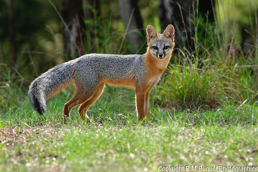 Gray Fox full side view