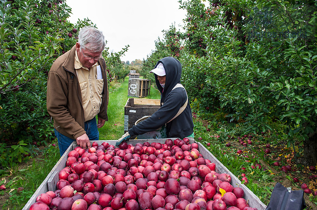 0ct. 15, 2013;  Rodney Winkel inspects a crate of freshly picked Red Delicious apples at Grandview Orchards in Watervliet, MI. Photo by Barbara Johnston/University of Notre Dame