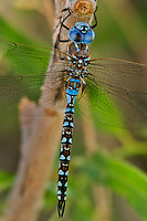 339360044 a wild male blue-eyed darner rhionaeschna multicolor perches on a tree branch at blackrock springs inyo county california