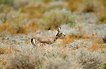 Black-tailed gazelle, Great Gobi Protected Area, Mongolia