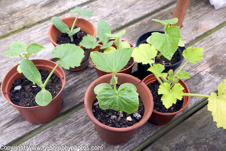 Cucumber and courgette plants in pots