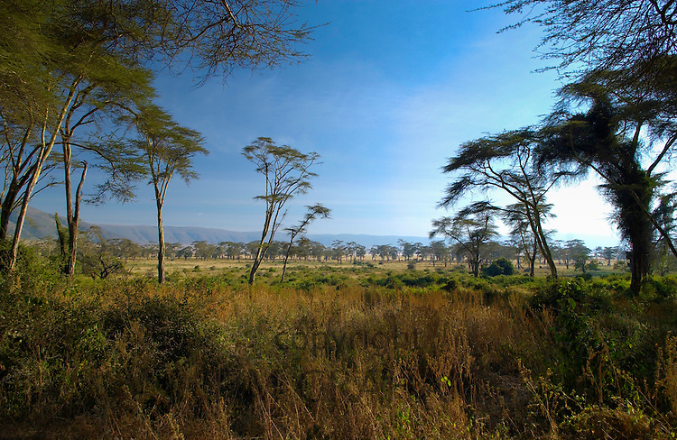 View of crater rim from the Lerai Forest, Ngorongoro Crater,Tanzania