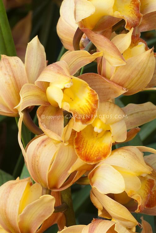 Cymbidiums Milk Tea peach toned orchid flowers