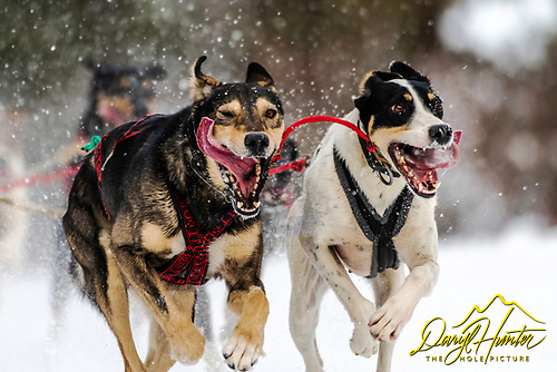 Sled dogs giving it their best in the Pedigree Stage Stop Race in Alpine Wyoming, more stages comeing.