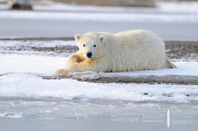 A polar bear cub experiencing the first snow and newly forming ice.Every fall, polar bears gather near the community of Kaktovik, Alaska, on the northern edge of ANWR, waiting for the Arctic Ocean to freeze. The bears have become a symbol of global warming.