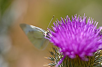Cabbage White butterfly on thistle flower. Hell's Canyon National Recreational Area, Oregon