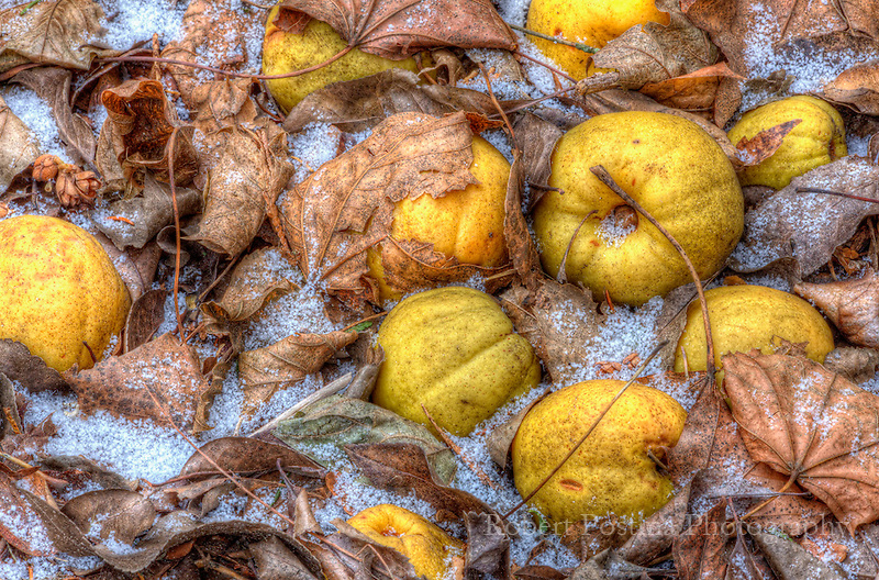 Quince apples laying in dead leaves with snow around them.