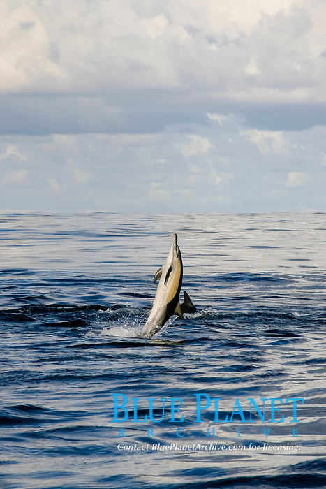 long-beaked common dolphin, Delphinus capensis (formerly lumped with Delphinus delphis) does a back flop, Wild Coast, Transkei, S. Africa (do)