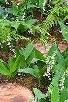 Convallaria majalis AGM lily of the valley in spring bloom in the garden with ferns, rocks, moss
