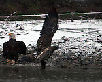 Bald Eagles gather along Nooksack River to feast on spawned-out salmon near Welcome, Washington. © 2013. Jim Bryant Photo. All Rights Reserved.