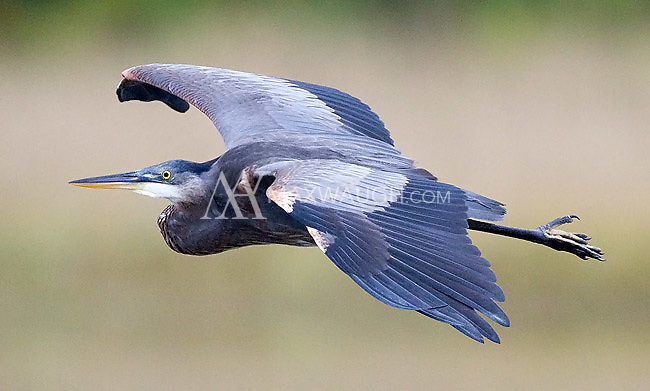 A great blue heron glides over the coastal waters of Vancouver Island.