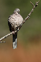 Sleeping Inca Dove (Columbina inca).