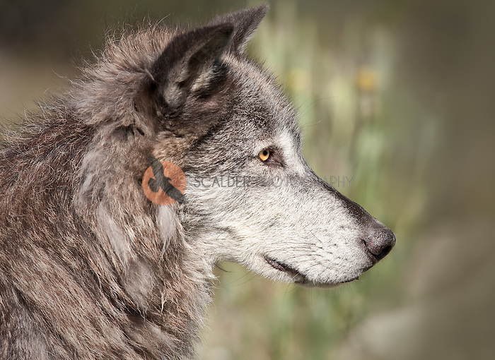 Profile of a Gray Wolf's face