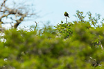 Austral Parakeet (Enicognathus ferrugineus) in Southern Beech (Nothofagus sp) forest, Patagonia, Chile