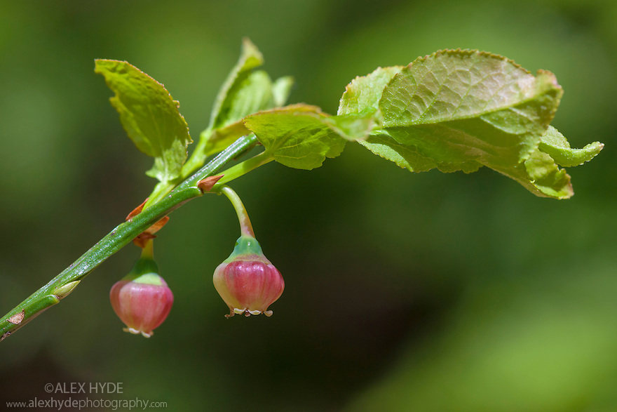 Bilberry flowers {Vaccinium myrtillus}, Snowdonia National Park, Wales, UK. May.