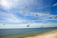 Seagulls/ sea birds fly over Dauphin Island, Alabama, a barrier island located three miles south of the mouth of Mobile Bay in the Gulf of Mexico. This island, which is approximately 14 miles long and less than two miles wide, appears to have fully recovered from the impact of Hurricane Katrina (2005) and the BP Deepwater Horizon Oil Spill in 2010. Both events greatly reduced tourism income (fewer people came to the island) and local business owners say many establishments went out of business. Today they say they're looking forward to a rebounding tourism business.