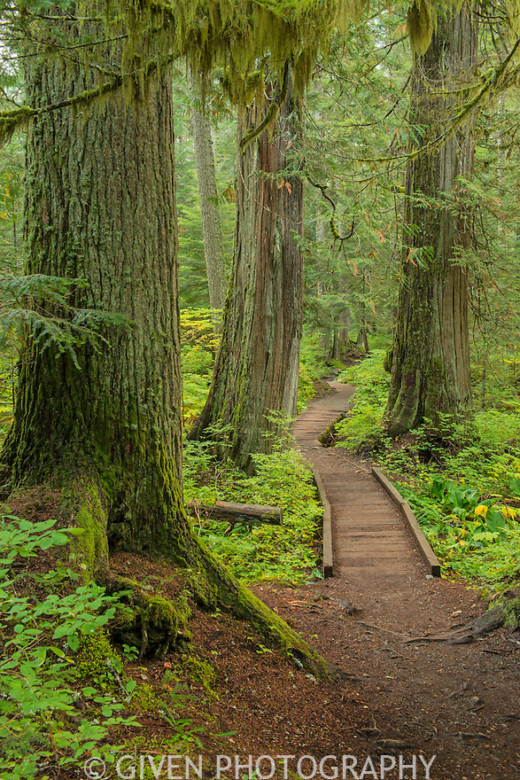 Boardwalk in old-growth forest, Mt. Baker/Snoqualmie National Forest, Washington