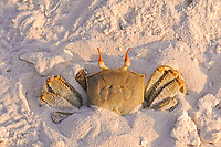Horned Ghost Crab (Ocypode ceratophthalmus), adult, burrowing into sand on sandy beach, Maldives, Asia