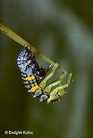 1C02-028z  Seven-spotted Ladybug larva molting skin, Coccinella septempunctata