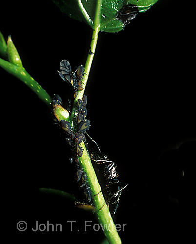 Ant milking aphids Aphididae  Formicidae