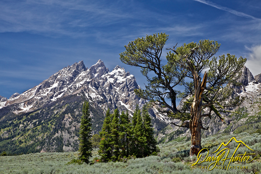 Patriarch Tree, Grand Teton National Park's famous limbar pine