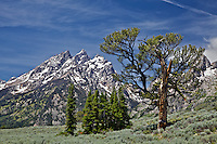Patriarch Tree, Grand Teton National Park's famous limbar pine<br />