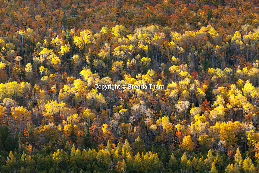Sun highlights the tops of trees in this hardwood forest on the Keewenaw Peninsula, Michigan.