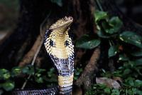 Venomous cobra [Naja naja] is poised to strike. Thailand.