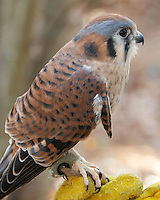 This female American Kestrel, named Savannah, resides at the Center for Wildlife in Cape Neddick, ME. It is being cared for at the Center for an injury that prevents it from being returned to the wild.