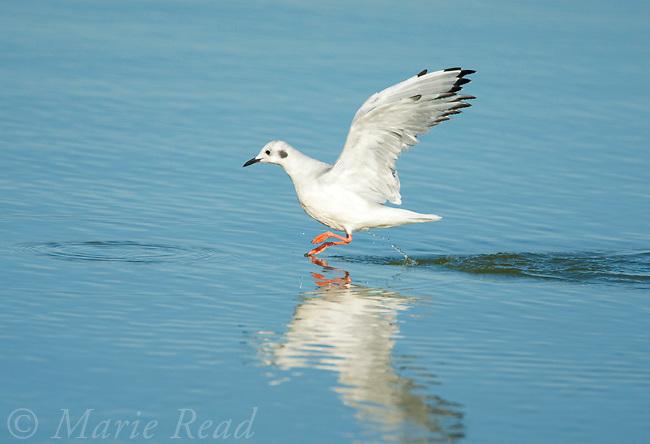 Bonaparte's Gull (Larus philadelphia), taking flight chasing fish, East Harbor State Pk, Lake Erie, Ohio, USA