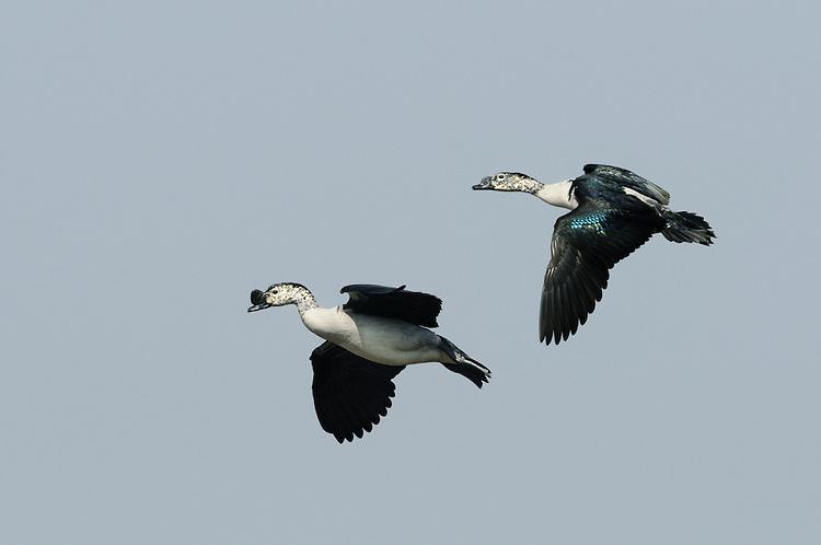 Comb Duck - Sarkidiornis melanotos