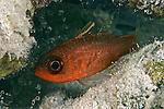 Apogon quadrisquamatus, Sawcheek cardinalfish, Bonaire