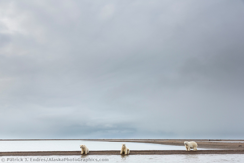 Polar bear sow and twin cubs along the shore of a barrier island in the Beaufort Sea, arctic Alaska.