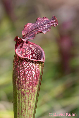 0506-1003  Pitcher Plant (Detail of Operculum, Peristome, Trap entrance, and Pitcher Tube),  Carnivorous Plant, Sarracenia spp.  © David Kuhn/Dwight Kuhn Photography.