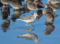 A Greater yellowlegs wades past a flock of Long-billed dowitchers.