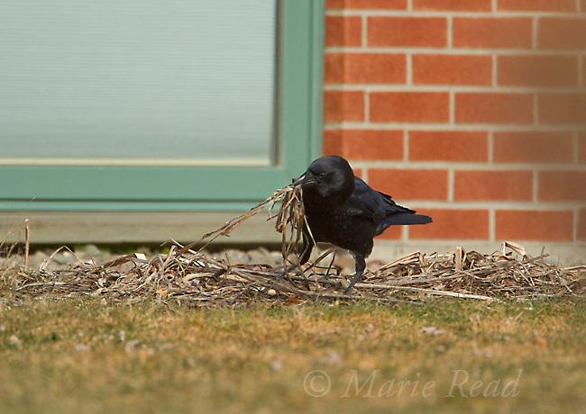 American Crow (Corvus brachyrhynchos) gathering nest material from residential backyard, New York, USA