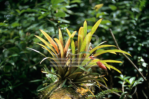 Monte Verde, Costa Rica. Flowering bromeliad growing on a tree; red flower.